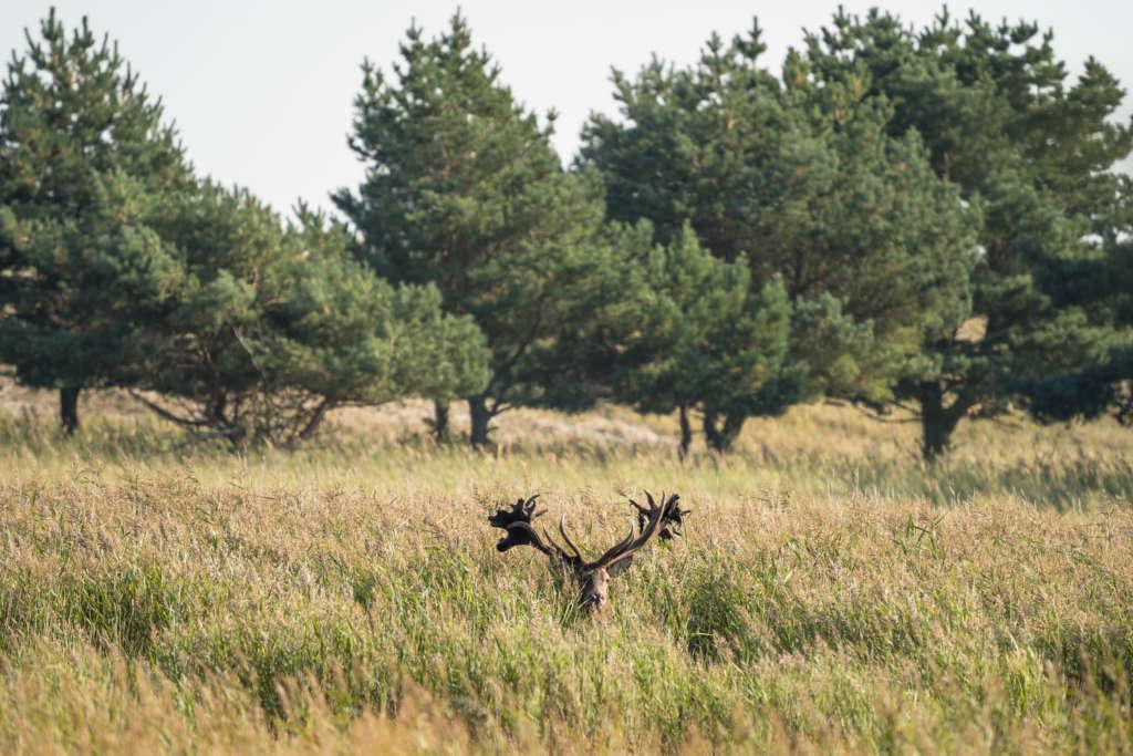 Ein Hirsch mit riesigem Geweih blickt aus einem Dickicht aus hohem Gras hervor, nur Gesicht und Geweih sind zu sehen, im Hintergrund stehen Bäume des Nationalpark Vorpommersche Boddenlandschaft.