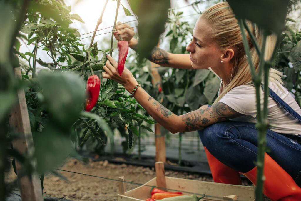 Eine Frau kümmert sich um ihre reife Paprikapflanze im Gewächshaus
