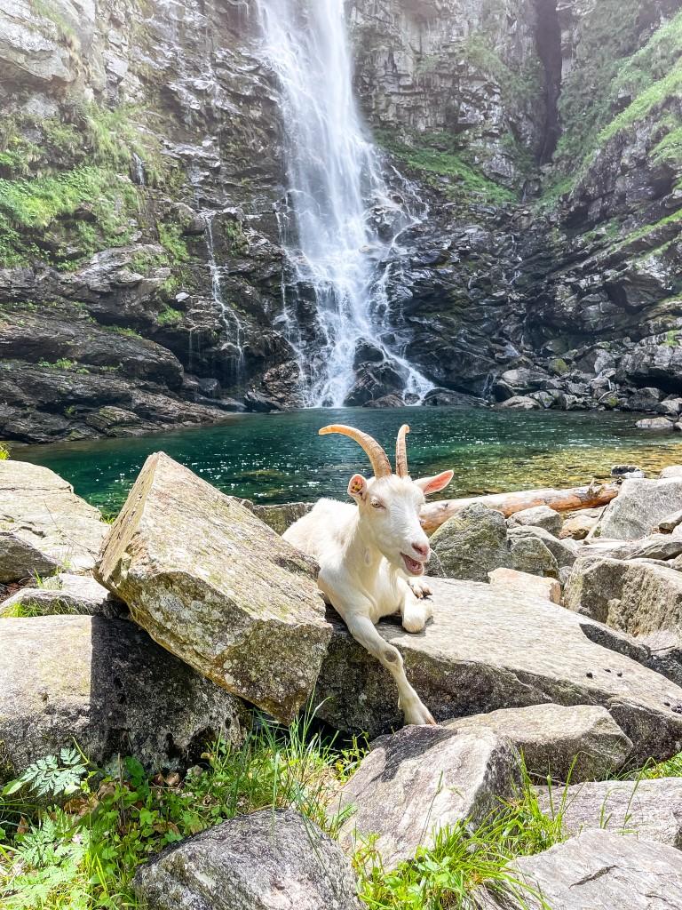 Um den Wasserfall Cascata La Froda findet man auch Ziegen, die in der Sonne entspannen.